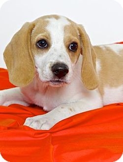 Beagle Mix Puppy for adoption in Gloucester, Virginia - SOHO