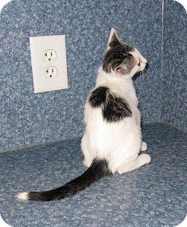 American Shorthair Kitten for adoption in Harrisburg, North Carolina - Rocky