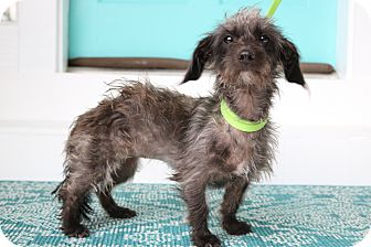 Dachshund/Poodle (Miniature) Mix Dog for adoption in Southington, Connecticut - Otter
