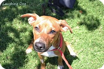 Pit Bull Terrier/Terrier (Unknown Type, Medium) Mix Dog for adoption in Stillwater, Oklahoma - Claude