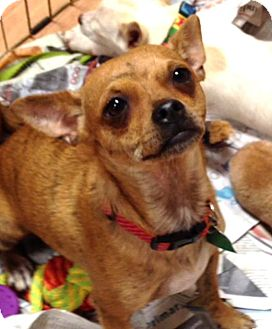 Rat Terrier Mix Puppy for adoption in Tijeras, New Mexico - Brindle