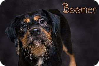 Terrier (Unknown Type, Small) Mix Dog for adoption in Somerset, Pennsylvania - Boomer