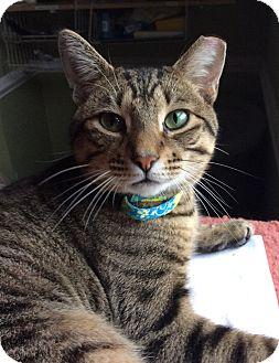 Domestic Shorthair Cat for adoption in Breinigsville, Pennsylvania - Mason