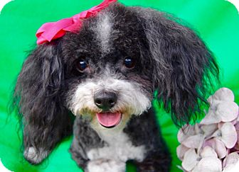 Poodle (Miniature) Mix Dog for adoption in Irvine, California - Dolly