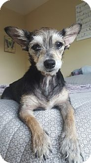 Schnauzer (Miniature) Mix Dog for adoption in Houston, Texas - Rita