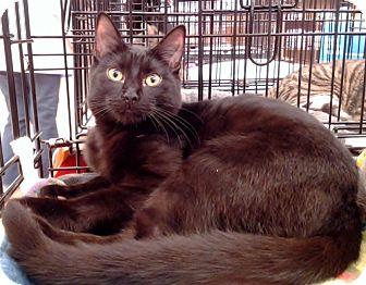 Domestic Shorthair Cat for adoption in Richmond, Virginia - Blanca