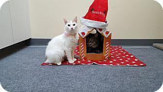Domestic Longhair Kitten for adoption in Pasadena, California - Emma
