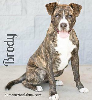 Labrador Retriever/Pit Bull Terrier Mix Dog for adoption in Modesto, California - BRODY