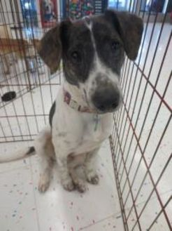 Terrier (Unknown Type, Small)/Black Mouth Cur Mix Dog for adoption in Beaumont, Texas - Liberty