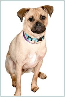 Pug/Jack Russell Terrier Mix Dog for adoption in Frederick, Maryland - RICO