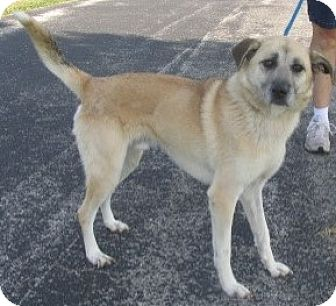 Shepherd (Unknown Type) Mix Dog for adoption in Mount Sterling, Kentucky - Harley