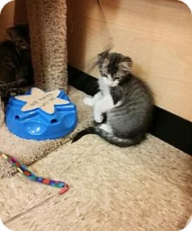Domestic Mediumhair Kitten for adoption in Bulverde, Texas - Beau