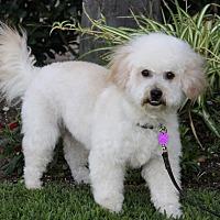 Adopt A Pet :: CURLEY - Newport Beach, CA