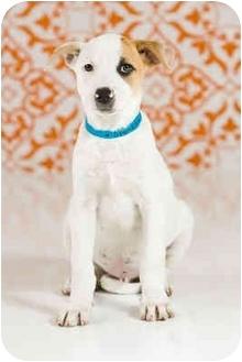 Boxer/Australian Shepherd Mix Puppy for adoption in Portland, Oregon - Spankie
