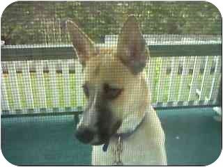 Akita Mix Dog for adoption in Broadway, New Jersey - Bo