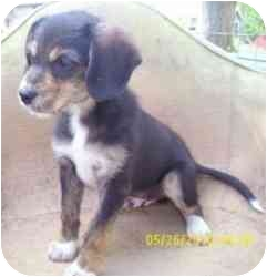 Beagle/Terrier (Unknown Type, Small) Mix Puppy for adoption in Lonedell, Missouri - Keith