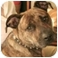 Photo 1 - American Staffordshire Terrier Mix Dog for adoption in Berkeley, California - Gomer