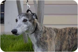 Greyhound Dog for adoption in Dallas, Texas - K'Bee