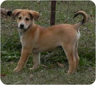 Golden Retriever Mix Puppy for adoption in Salem, New Hampshire - Giggles
