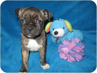 Boston Terrier/Pug Mix Puppy for adoption in Wauseon, Ohio - Maggie
