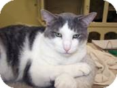 Domestic Shorthair Cat for adoption in West Dundee, Illinois - Jed