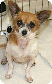 Chihuahua Dog for adoption in House Springs, Missouri - Celeste