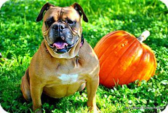 English Bulldog Mix Dog for adoption in Cibolo, Texas - Trixie