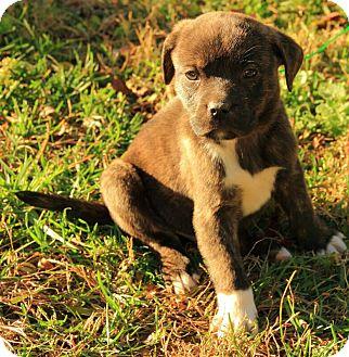 Boxer/Terrier (Unknown Type, Medium) Mix Puppy for adoption in Allentown, Pennsylvania - Courtland