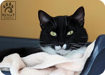 Domestic Shorthair Cat for adoption in Lancaster, Massachusetts - Franklin