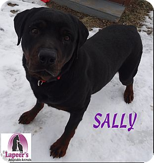 Rottweiler Dog for adoption in Lapeer, Michigan - Sally-VERY URGENT!!