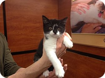 Domestic Shorthair Cat for adoption in Cranford/Rartian, New Jersey - Ashley