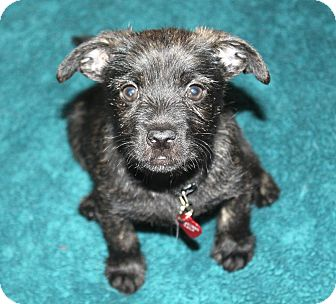 Terrier (Unknown Type, Small)/Chihuahua Mix Puppy for adoption in Bellflower, California - Howie