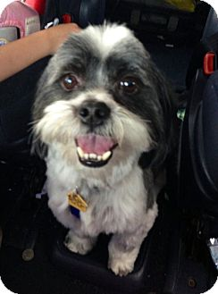Shih Tzu Mix Dog for adoption in Marietta, Georgia - Bandit