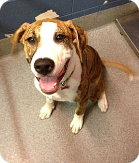 Boxer Mix Dog for adoption in Richmond, Virginia - Tiger Lily