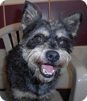 Silky Terrier/Poodle (Miniature) Mix Dog for adoption in Bartonsville, Pennsylvania - Bandit