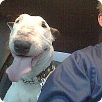 Adopt A Pet :: Cinder - Manassas, VA