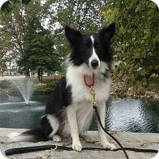 Sheltie, Shetland Sheepdog Dog for adoption in COLUMBUS, Ohio - Dash