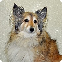 Adopt A Pet :: Blue Belle - Port Washington, NY