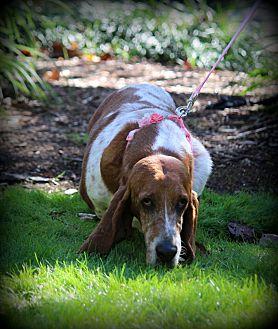 Basset Hound Dog for adoption in Greenville, South Carolina - Stella