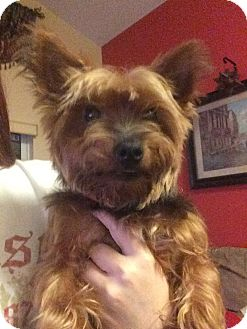 Yorkie, Yorkshire Terrier Dog for adoption in Naples, Florida - Toby
