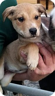 Retriever (Unknown Type) Mix Puppy for adoption in Gainesville, Florida - Meadow