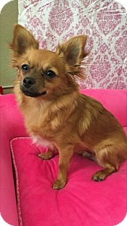 Chihuahua Mix Dog for adoption in Las Vegas, Nevada - Emmie