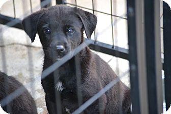 Labrador Retriever Mix Puppy for adoption in Syacuse, New York - Apollo