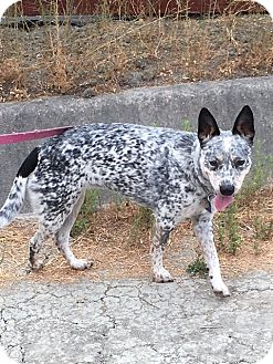 Australian Cattle Dog Mix Dog for adoption in Pleasanton, California - Elie