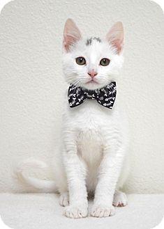 Domestic Shorthair Kitten for adoption in Dublin, California - Firefly