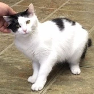 Domestic Shorthair Cat for adoption in Palatine, Illinois - Miss Kitty