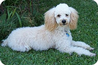 Poodle (Miniature) Mix Dog for adoption in Lafayette, Louisiana - Curly Mouton