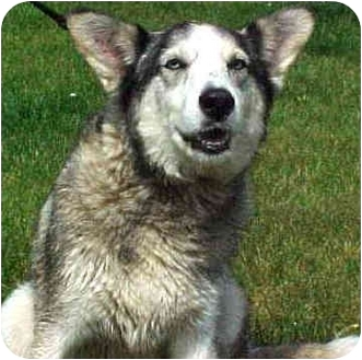 "Husky Mix Dog for adoption in Various Locations, Indiana - ""Ella is Urgent"""