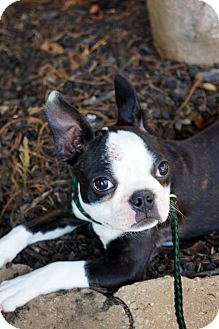 Boston Terrier Puppy for adoption in Newark, Delaware - Lucia