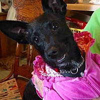 Adopt A Pet :: Ebony/CP - Columbia, TN